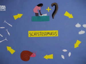 Parasites in motion: Schistosomiasis