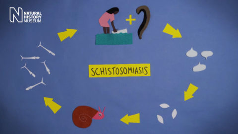 Natural History Museum, London - Parasites in motion: Schistosomiasis
